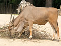 Standing brown common eland with spiral horns antelope is a term referring to many even toed ungulate species indigenous to Stock Photo