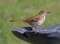 Standing Brown Thrasher Stock Image