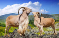 Standing couple of barbary sheeps in wildness on rock area Royalty Free Stock Image