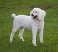 Standing dog standard sized white poodle on a green lawn Royalty Free Stock Photo