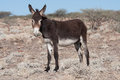 Standing donkey Royalty Free Stock Photo