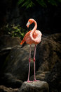 Standing Flamingo Royalty Free Stock Image