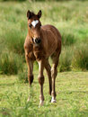 Standing Foal Royalty Free Stock Photo