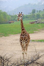 Standing giraffe in a zoo adult Royalty Free Stock Photos