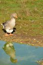 Standing goose and reflection on a pond in farm Royalty Free Stock Photo