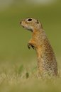 Standing Ground Squirrel Stock Photo