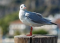 Standing gull in th harbour Stock Photography
