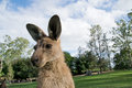 Standing kangaroo in zoo detail of australia Stock Image