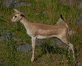 Standing little antelope Stock Images