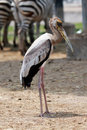Standing Long Mouth Bird Stock Images