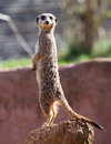 Standing meerkat portrait a upright on a rock Stock Image
