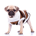 Standing mops dog wearing clothes Royalty Free Stock Images