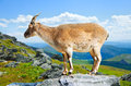 Standing muflon at wildness area Royalty Free Stock Photos