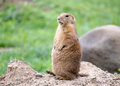 Standing Prairie Dog Royalty Free Stock Photo