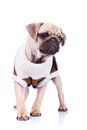Standing pug puppy dog Royalty Free Stock Image