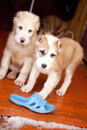 Standing puppies Stock Photo
