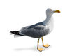 Standing Seagull