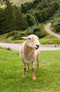 Standing Sheep Royalty Free Stock Photos