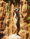 Standing suricatta (meerkat) Stock Photos