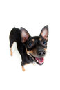 Standing toy terrier dog top view Stock Images