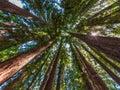 Redwood Tree Circle To The Sky...