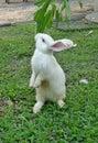 Standing white rabbit Royalty Free Stock Photo