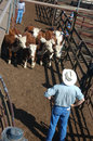 Standoff man organises cattle in pens for auctioning circa toowoomba queensland australia Royalty Free Stock Images