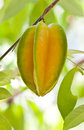 Star apple fruit on the tree Royalty Free Stock Image