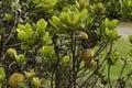 Star Apple plant fynbos Royalty Free Stock Photo