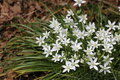 Star of bethlehem ornithogalum from the genus in bloom in spring time Royalty Free Stock Images