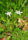 Star-of-Bethlehem (Ornithogalum umbellatum) Royalty Free Stock Photography
