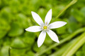 Star of bethlehem ornithogalum umbellatum in spring in the netherlands Stock Image