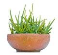 Star cactus aloe aloin jafferabad barbados aloe vera l b burm f grown in pot on a white background Stock Images