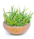 Star cactus aloe aloin jafferabad barbados aloe vera l b burm f grown in pot on a white background Royalty Free Stock Image