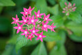 Star cluster close up pink flowers Royalty Free Stock Photo