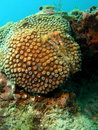 Star Coral Stock Photography