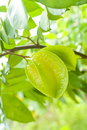 Star Fruit in Nature Royalty Free Stock Photo