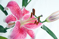Star Gazer Lily with Bud Royalty Free Stock Photo