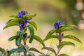 Star gentian wildlife picture of a rare in bavaria Royalty Free Stock Images