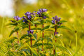 Star gentian wildlife picture of a rare in bavaria Stock Images