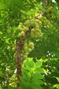 Star gooseberry on the tree Royalty Free Stock Photography