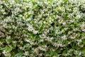 Star Jasmine (Trachelospermum jasminoides) Royalty Free Stock Photo