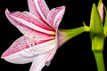 Star lily flower Stock Photography