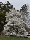 Star Magnolia Royalty Free Stock Photo