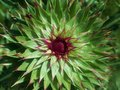 Starburst design Texas wildflower Royalty Free Stock Photo
