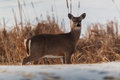 Stare down with camer whitetail deer staring the camera taken along the cattail lake shore Stock Image