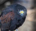 Stare vigilant harris hawk sitting motionless waiting for any movement on the part of its foe Stock Photography