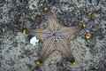 Starfish in aquarium. (Pentaceraster alveolatus) Royalty Free Stock Photo