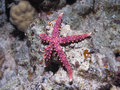 Starfish Gomophia egyptiaca Gray sea star on a cor Royalty Free Stock Photo
