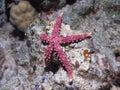 Starfish Gomophia egyptiaca Gray sea star on a cor Royalty Free Stock Photo